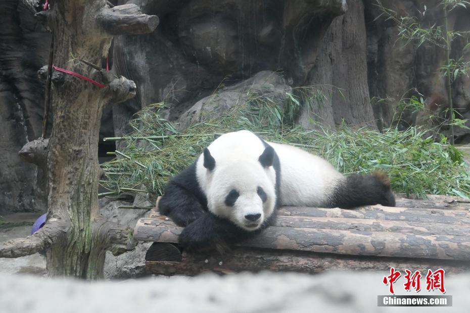 大熊貓空調房內享清涼