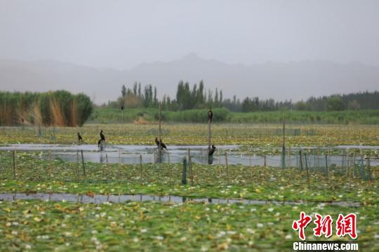 赏睡莲看水鸟 七月新疆博斯腾湖风光正好