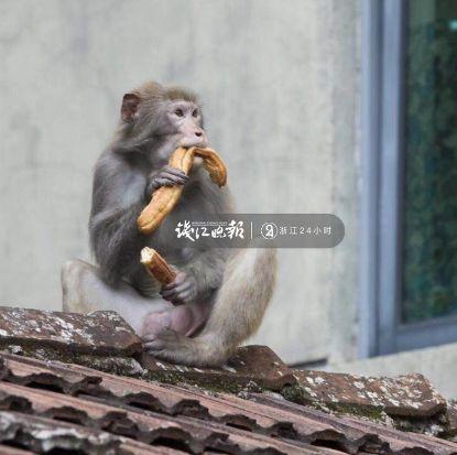 景區獼猴多次打劫游客