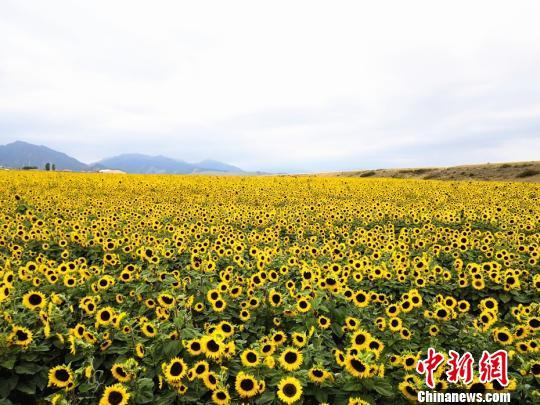 乌鲁木齐万亩向日葵
