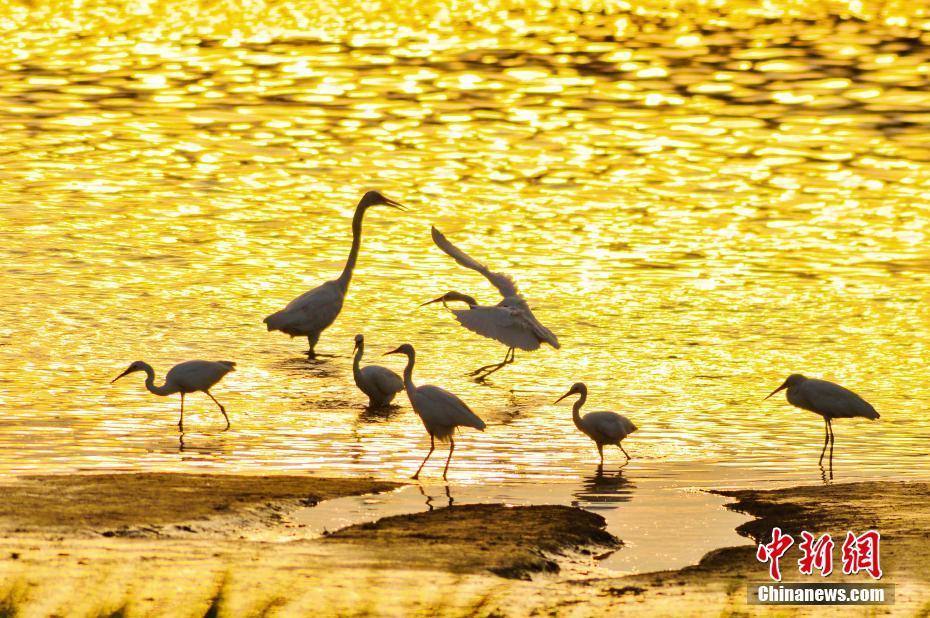 青島濕地鷺鳥翔集