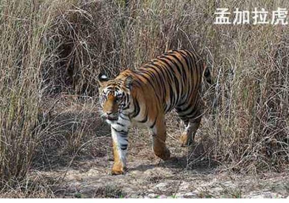 科研人员在西藏墨脱拍摄到野生孟加拉虎活体照片