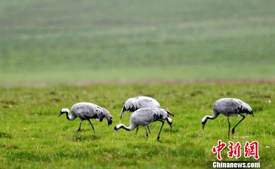 灰鶴草原濕地嬉戲飛舞