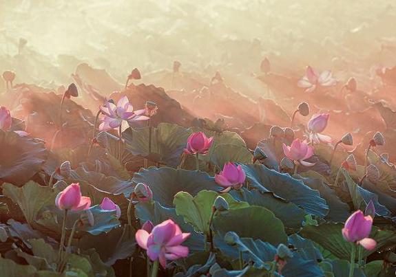 博斯腾湖湖畔秋日荷花美景迷人