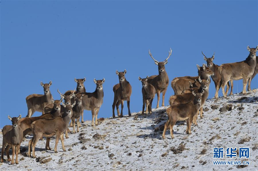 甘肃盐池湾保护区十年新增濒危动物白唇鹿190头