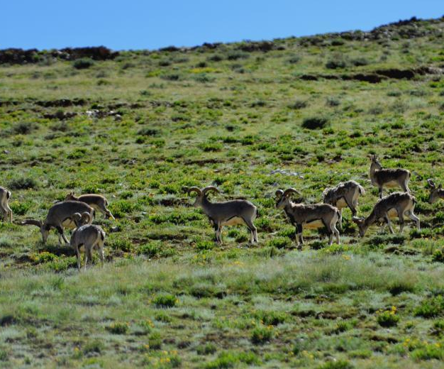 动物西藏山南地区觅食