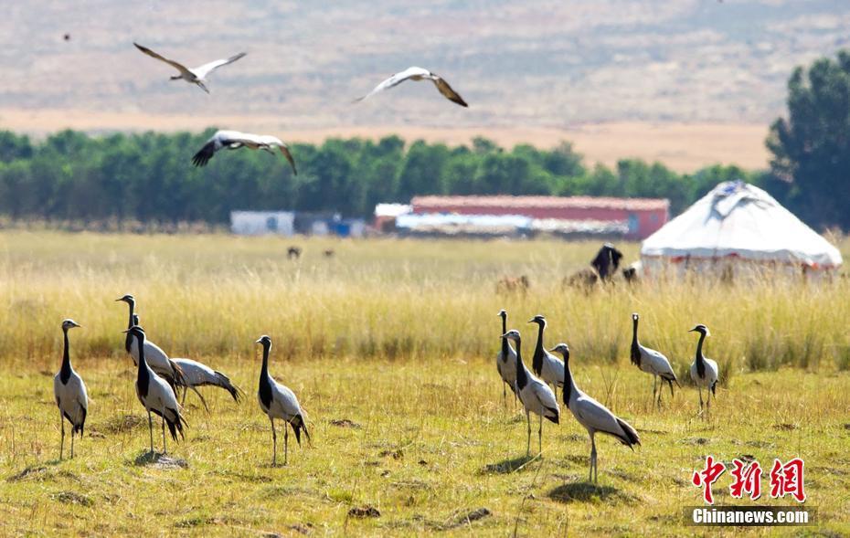 新疆湿地迎来南迁候鸟