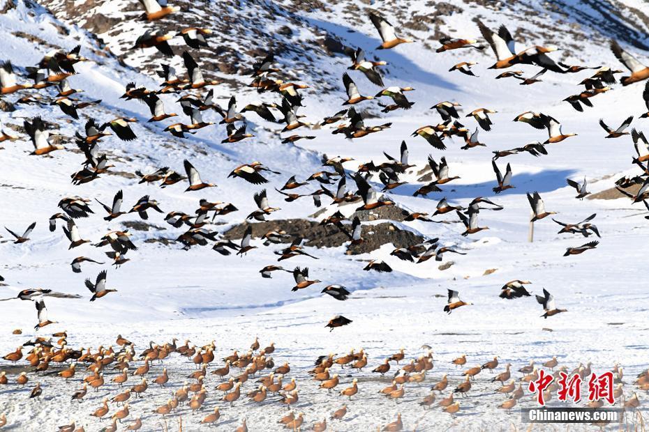 萬只紅雁戀上內蒙古爾善溫泉 溫暖過冬
