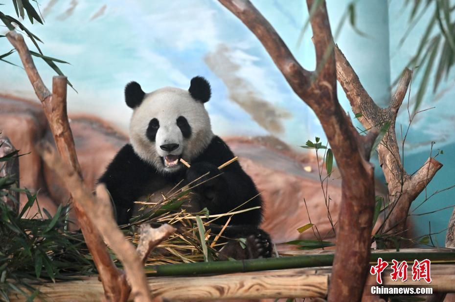 熊猫亮相南宁动物园