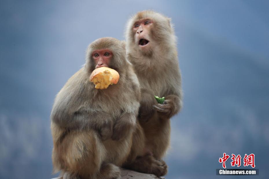 野生獼猴享新年團圓宴