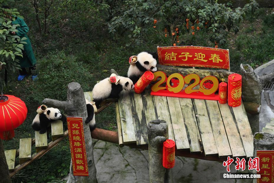 """大熊猫""""四世同堂""""迎春节 熊猫幼仔携礼给""""曾祖母""""拜年"""