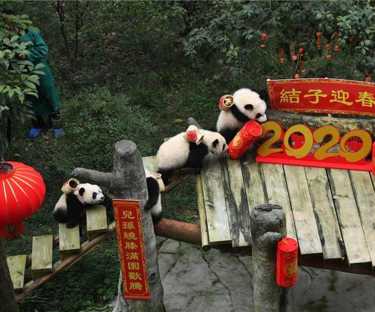 大熊猫四世同堂迎春节