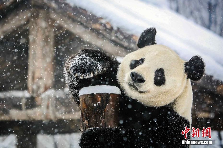 大熊猫见到雪玩嗨了