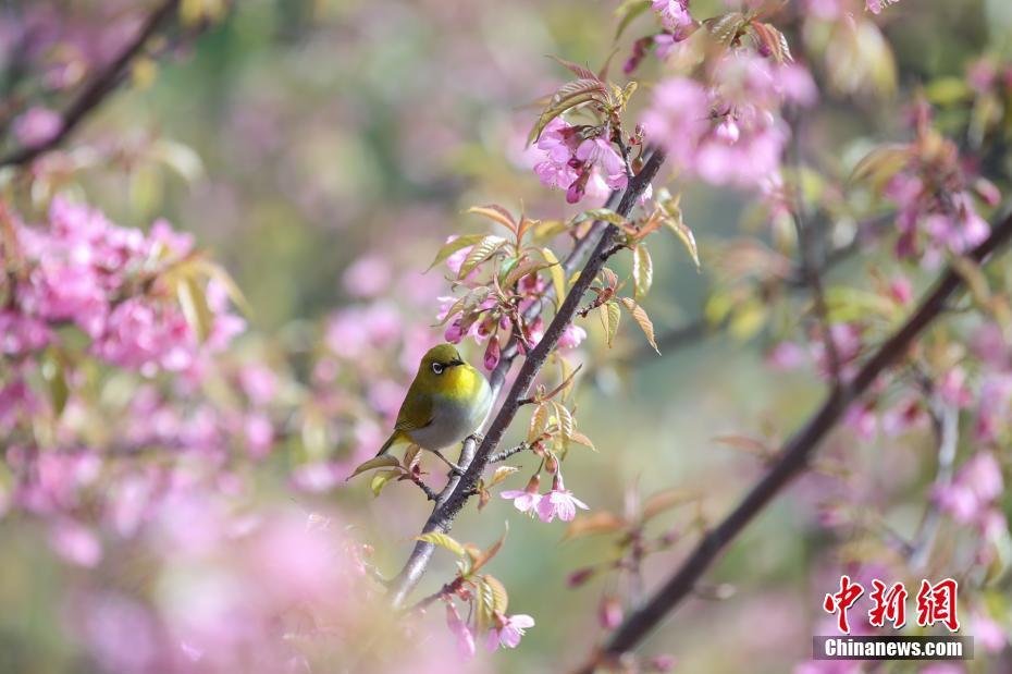 贵阳冬樱盛开成一景
