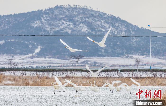 山东大天鹅雪中起舞