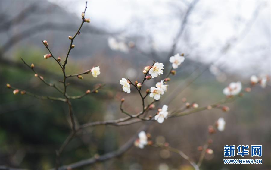 江南開啟迎春賞梅季