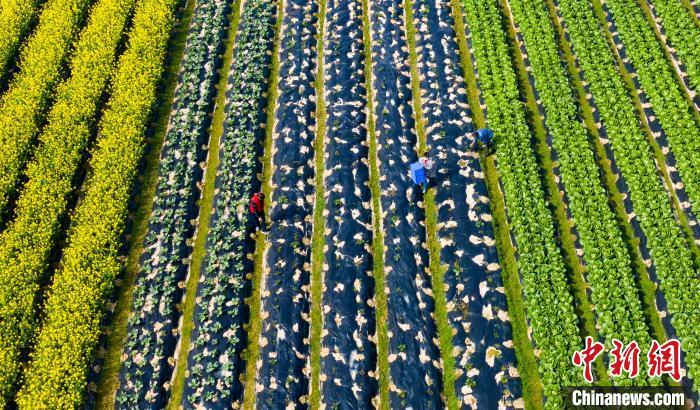 蔬菜基地色彩斑瀾