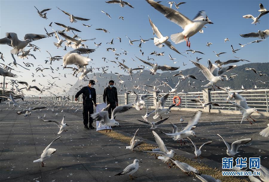 疫情期间昆明红嘴鸥专人投喂 鸥粮每天1000多公斤