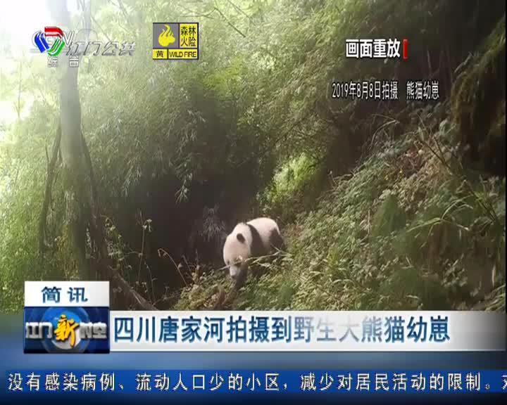 四川唐家河拍摄到野生大熊猫幼崽