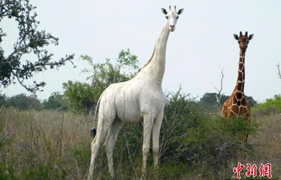 又1白色长颈鹿遭杀害