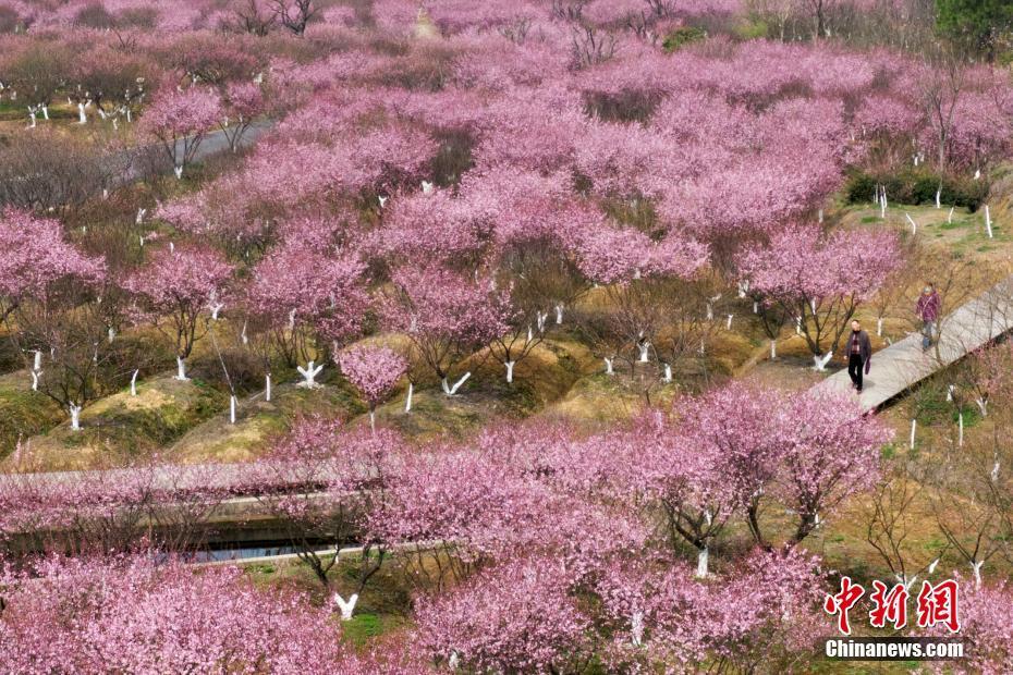 南京郊外梅花盛開