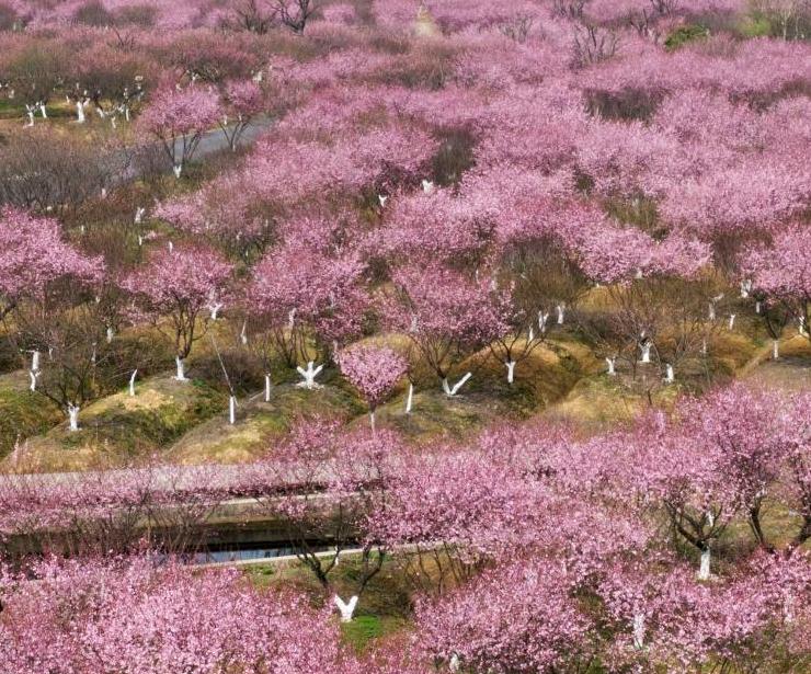 南京郊外梅花盛开