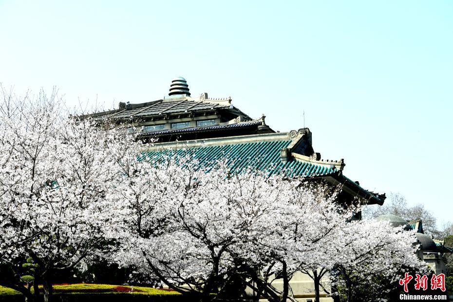 武漢大學櫻花如約盛放