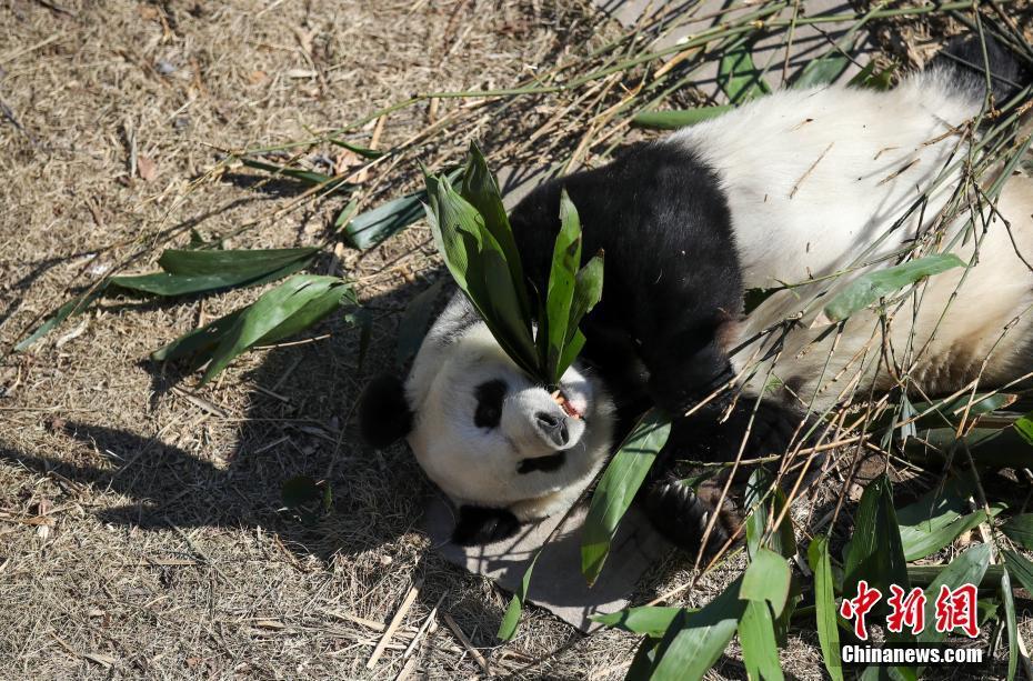 大熊猫吃竹子晒太阳