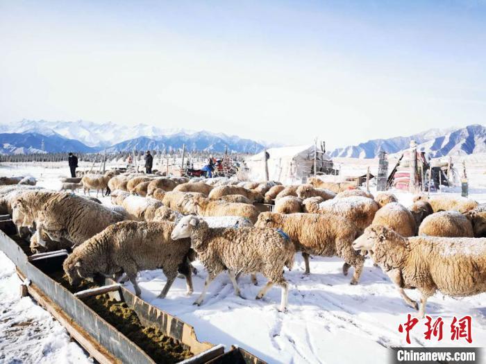 春雪后祁连山下牧羊忙