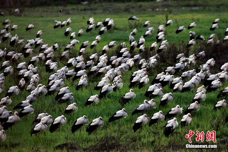 大群白鹳迁徙途径土耳其 途中临时降落休憩