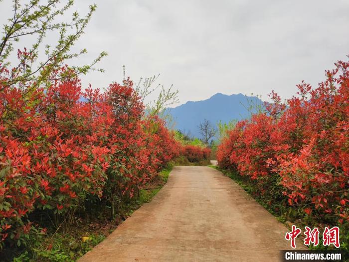 红叶石楠层林尽染如画