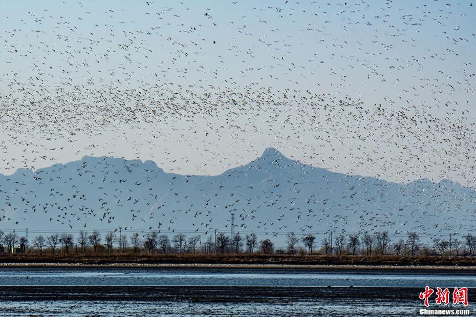 春至候鸟归 北戴河新区湿地候鸟云集