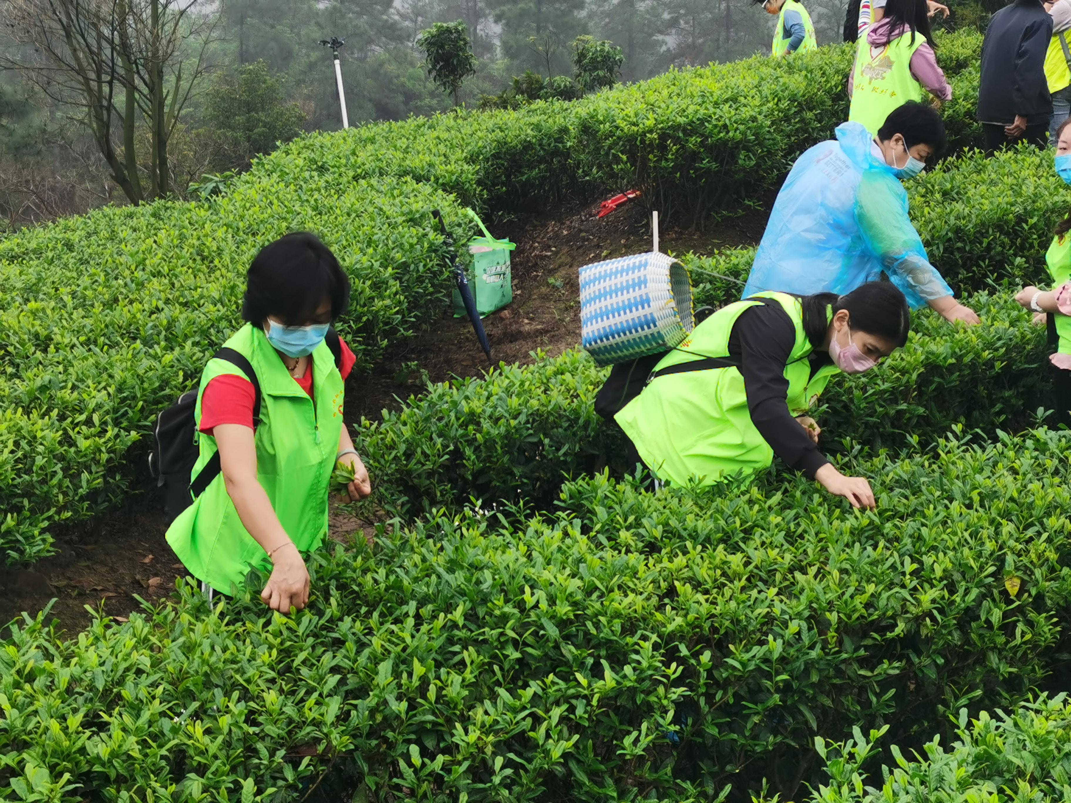 江门:50多名志愿者驰援茶园 助农采茶不误农时