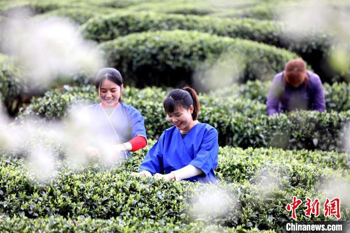 廣西梨花樹下采春茶