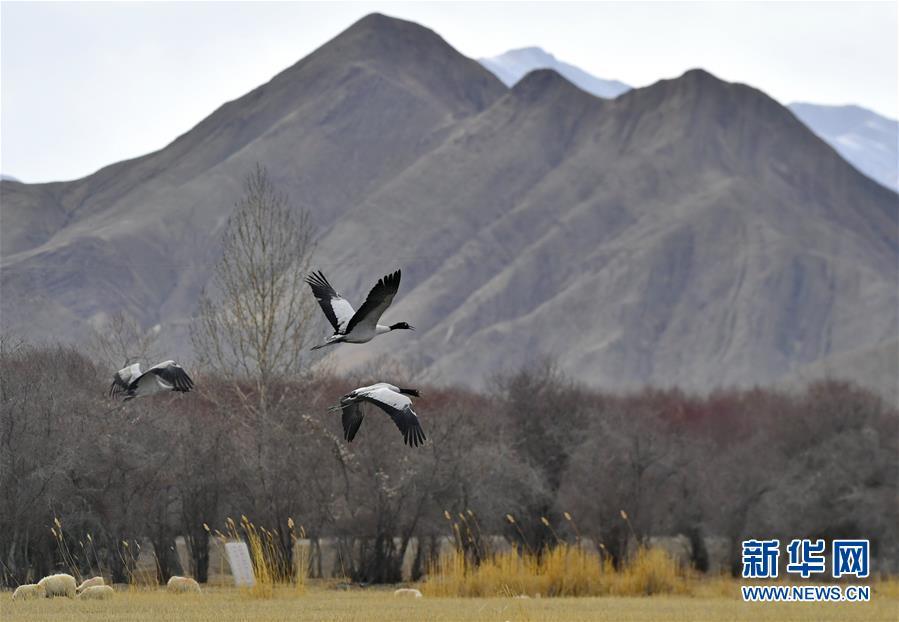 日喀则:湿地鹤舞
