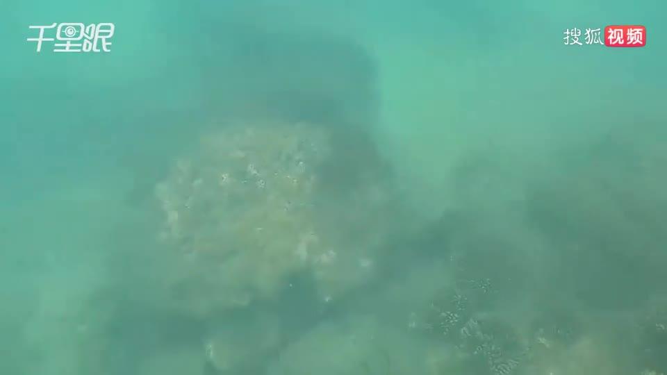 小伙这次潜水地笼一起来,收获好几只拳头大的海螺