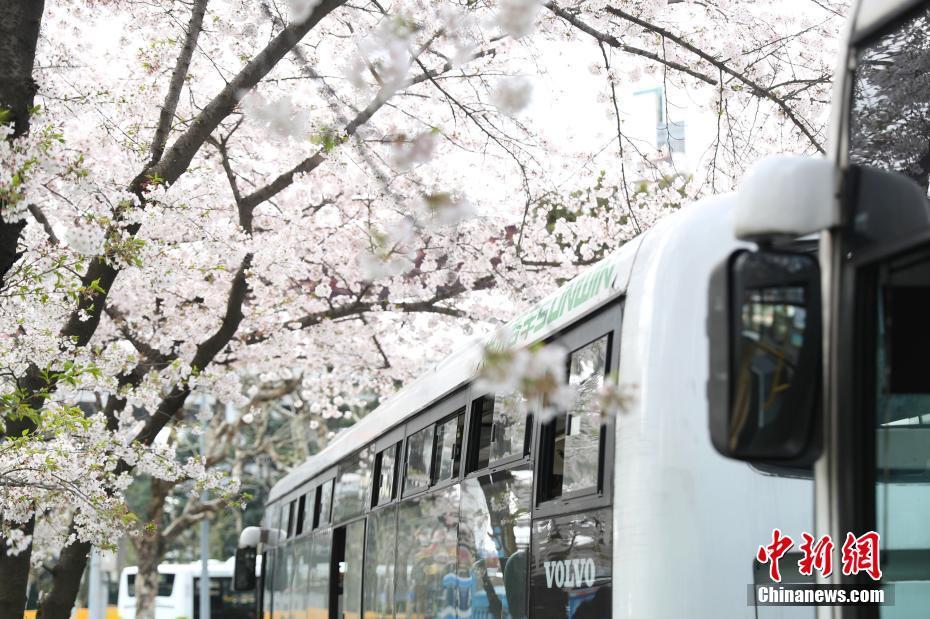 上海樱花车站烂漫季节