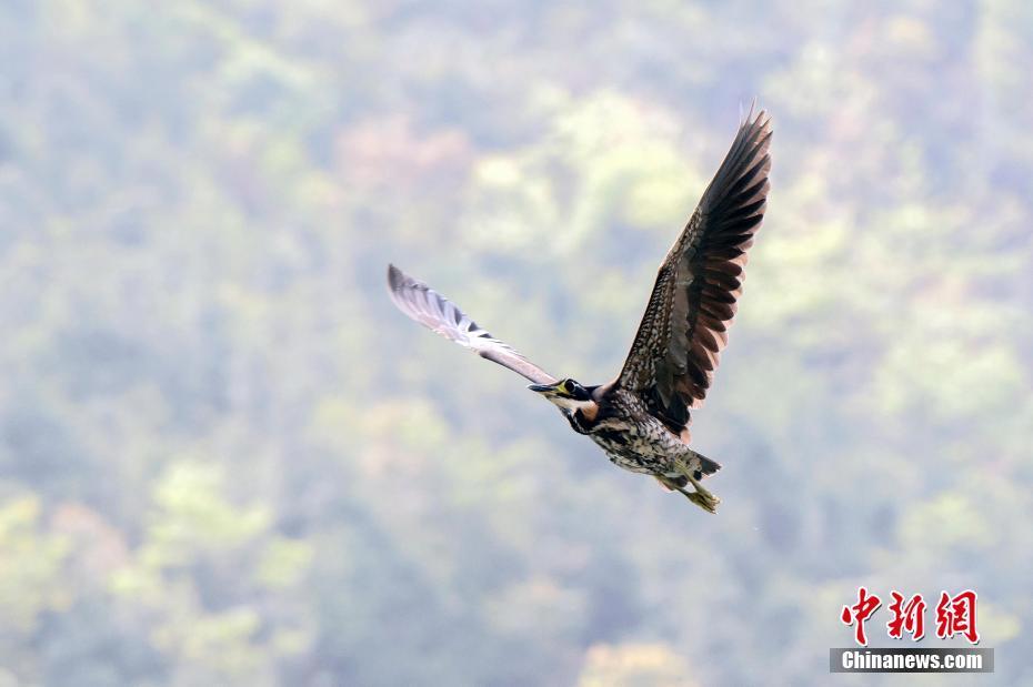 """廣東再次監測到""""世界上最神秘的鳥""""海南虎斑鳽"""