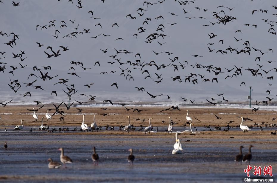 新疆候鳥遷徙高峰期