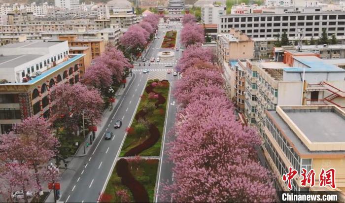 風景這邊獨好!桐樹大道花開成景,可與櫻花相媲美