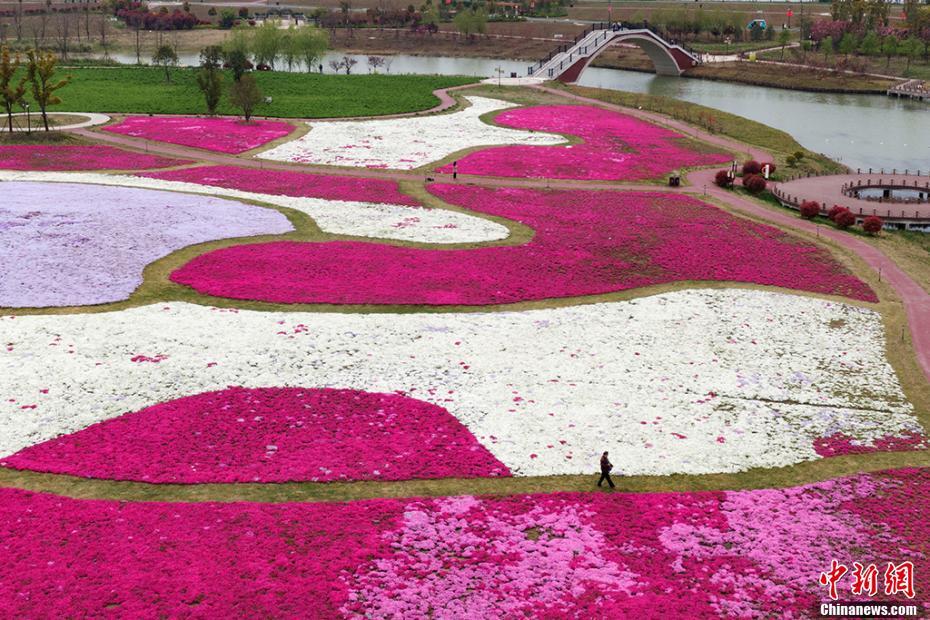 江苏白马湖芝樱花盛开