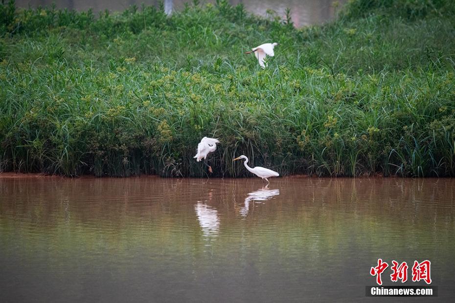 广西梧州白鹭自由徜徉