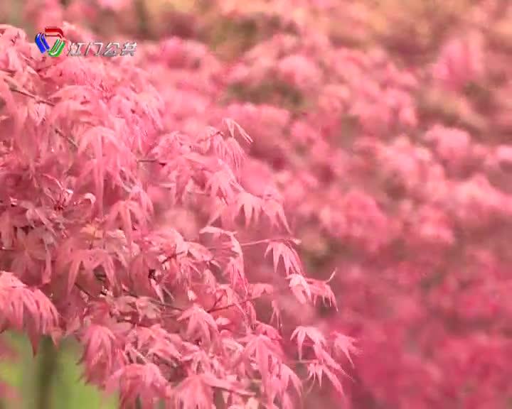 巴南千亩红枫红满天 层林尽染游人醉