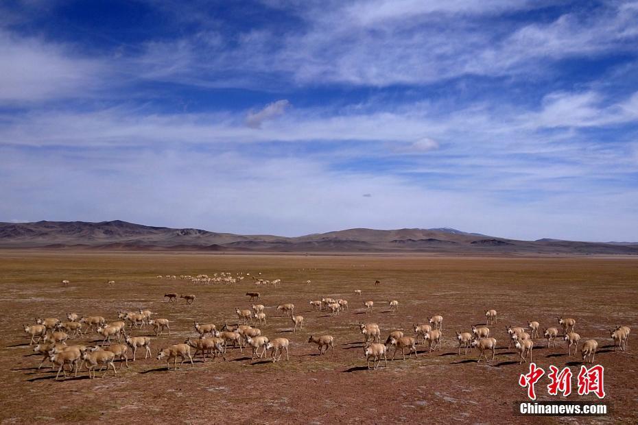 西藏藏羚羊大规模迁徙