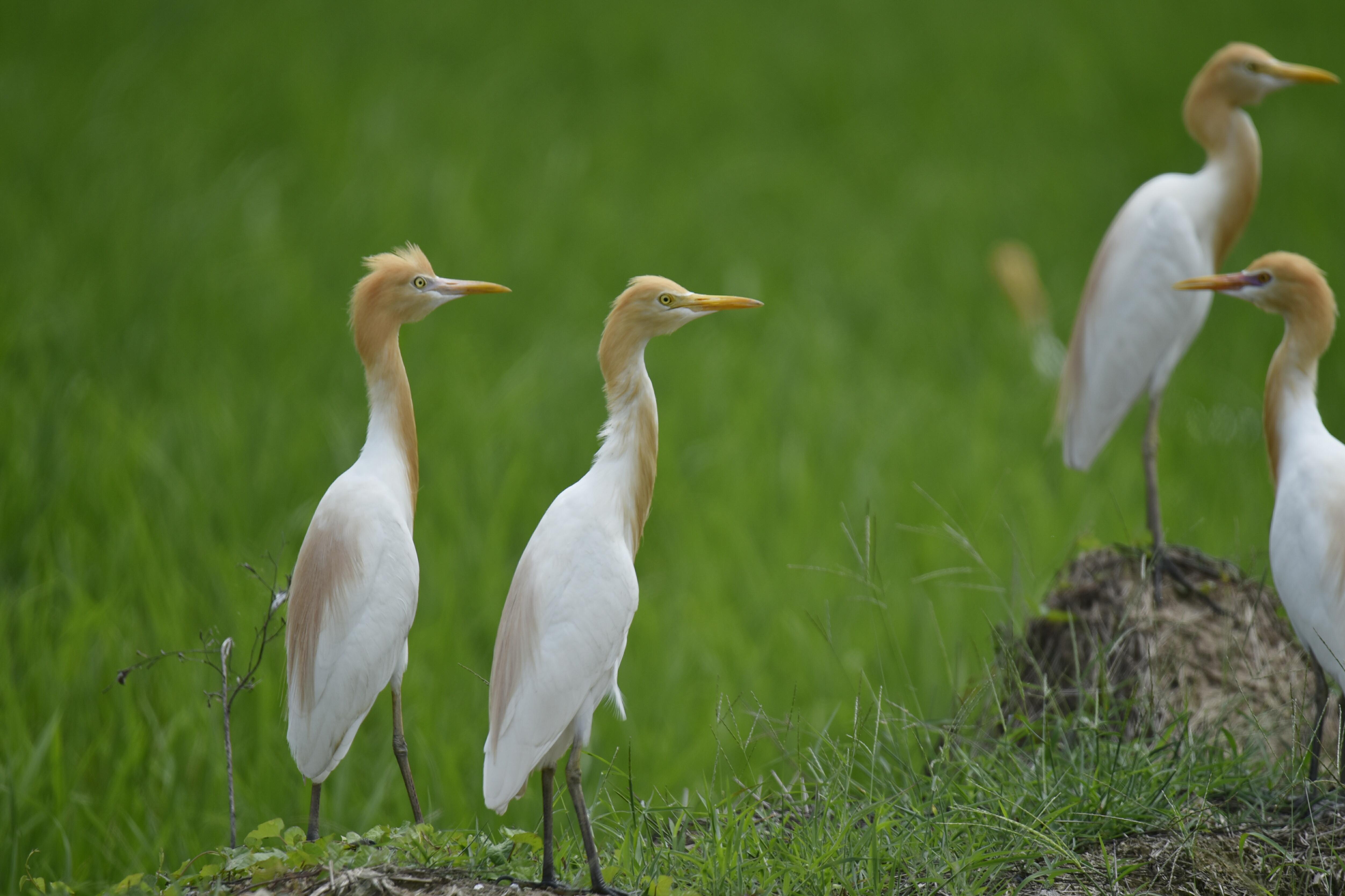 新会睦州莲子塘村环境改善 吸引雀鸟栖息繁衍