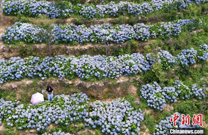 福建永春:云山花园200亩绣球花开引客来