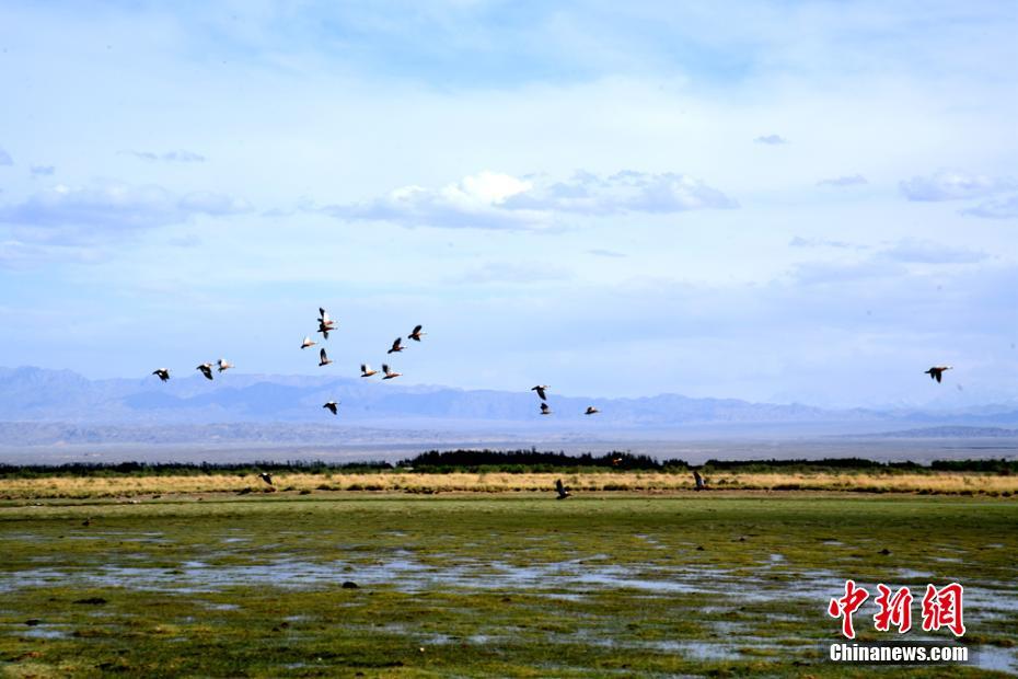 甘肅瓜州濕地水鳥翔集