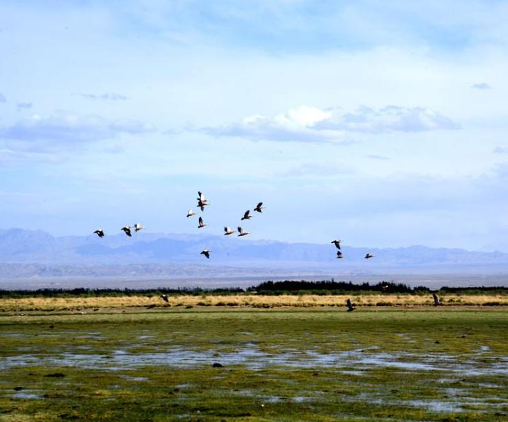 甘肃瓜州湿地水鸟翔集
