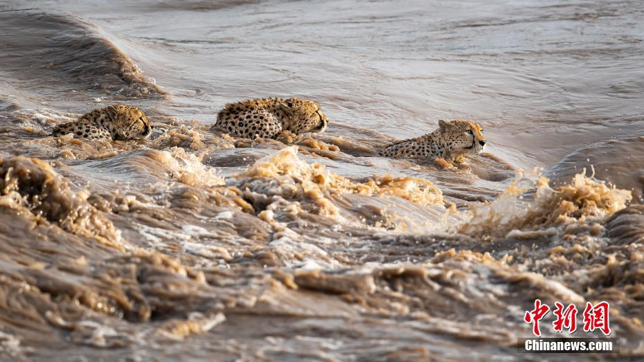 猎豹冒险渡河身手敏捷