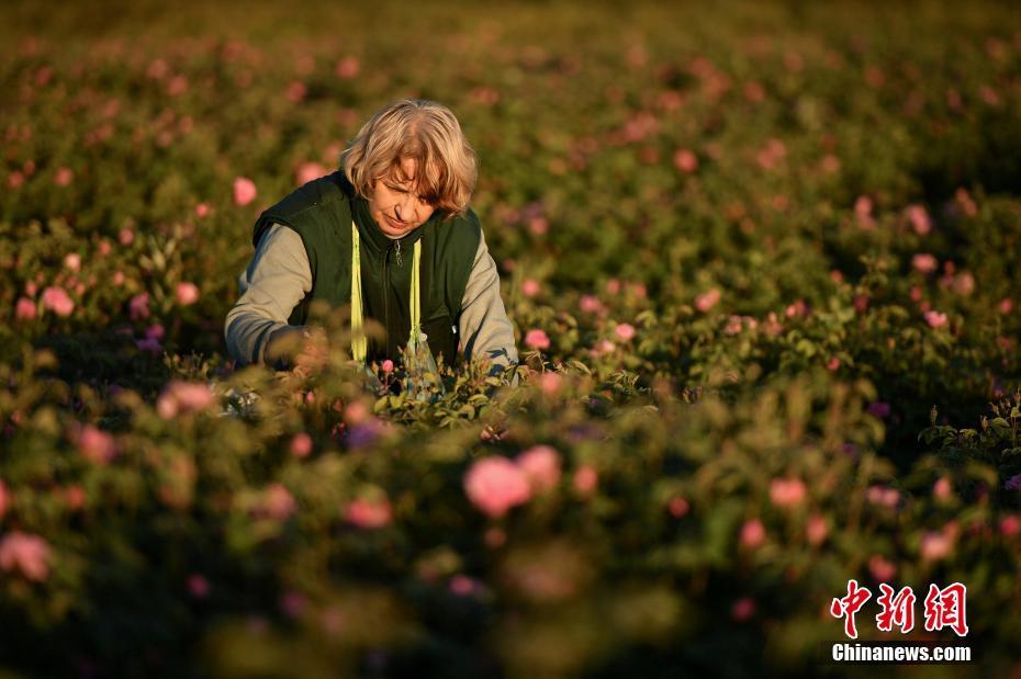 克里米亚田间玫瑰盛开